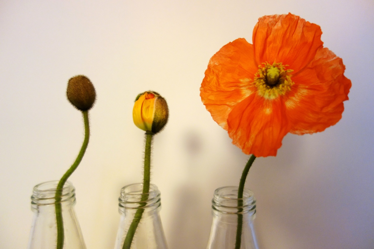 Lifecycle of a poppy